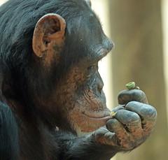 chimpanzee Amersfoort JN6A7133 (j.a.kok) Tags: chimpansee chimpanzee animal africa afrika aap ape amersfoort mammal monkey mensaap primate primaat zoogdier dier pantroglodytes