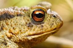 The Toad (andabata) Tags: toad commontoad buffobuffo pad gewonepad