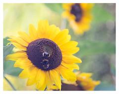 Honey for the bees (leo.roos) Tags: zonnebloem helianthusannuus sunflower yellow geel bee bij a7 t38028fedetude projectorlens этюдпроектор focusinghelicoidtrioplan10028 exakta adaptedtom42 projectionlens russianlenses sovietglass darosa leoroos