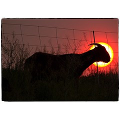 Goat Jones. #photography #photooftheday #photoadaychallenge #sigma150600 #canon7d #sunset #goat #silhouette #project365 #opcmag #yyc #calgary