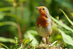 Ending summer moult (david.england18) Tags: robinredbreast smallbirds various tits blue great coal queensparkheywood canon7dmkll canonef300mmf4lisusm birdsuk