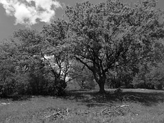 prati alberati (fotomie2009) Tags: liguria italy italia ponente ligure segno trees monochrome monocromo monotone bw bn vadoligure