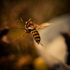 Emma (ursulamller900) Tags: pentacon28100 makroring 12mm extensiontube hornisse queen hornet emma insekt mygarden