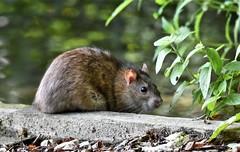 Riverbank rodent. (pstone646) Tags: rat animal rodent nature wildlife fauna closeup bokeh water kent mammal ngc
