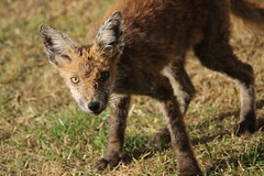 Rumbled! (charliejb) Tags: fox wild wildlife garden 2018 westburyontrym bristol ears fur furry furred red grass mammal carnivore