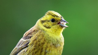 Yellowhammer Snacktime!