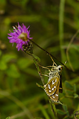 Silver-spotted Skipper (ianbartlett) Tags: outdoor macro landscape wildlife nature birds butterflies dragonflies cattle flight flowers colour light shadows clouds