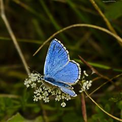 Adonis Blue (ianbartlett) Tags: outdoor macro landscape wildlife nature birds butterflies dragonflies cattle flight flowers colour light shadows clouds