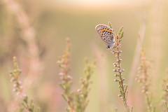 Silver-studded Blue (Plebejus argus), female, Heideblauwtje ((Ruud) Reddingius) Tags: vlinder butterfly plebejusargus papillon heideblauwtje silverstuddedblue heide heather heath insect veluwezoom veluwe gelderland