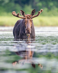 Moose Buffet... (DTT67) Tags: moose alces bullmoose bull maine lilly's water eating pond northwoods 14xtciii 500mm 1dxmkii canon mammal nature wildlife