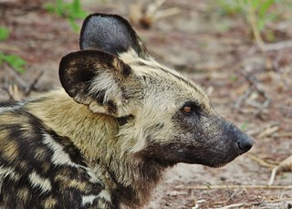 (Lycaon pictus) Painted Wild Dog Portrait