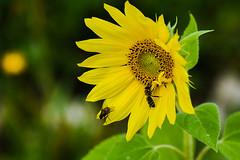 Bee and Fly (PinoyFri) Tags: bee abeille 蜜蜂 bi pukyutan μέλισσα ape 蜂 abeja sonnenblume sunflower mirasol auringonkukka tournesol helianthus zonnebloem napraforgó fliege mosca fly volar macro
