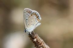 Argus bleu (Nature Box) Tags: img6733 nature wildlife papillon butterfly polyommatusicarus common blue lépidoptère lycaenidae summer park garden