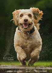 Picture of the day (Keshet Kennels & Rescue) Tags: rescue kennel kennels adoption dog ottawa ontario canada keshet large breed dogs animal animals pet pets field tree forest nature photography mini goldendoodle ears floppy smile happy run splash puddle spring summer water drops spray