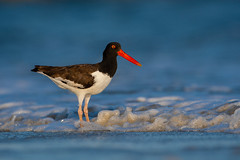 American Oystercatcher (nikunj.m.patel) Tags: nature wild wildlife americanoystercatcher shorebird summer migration beach outdoor beauty birds bird avian nikon nikond850