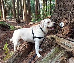 Gracie is now five years old. (walneylad) Tags: gracie dog canine pet puppy lab labrador labradorretriever cute august summer afternoon greenwoodpark happybirthday birthday fiveyearsold
