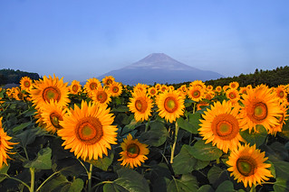 Summer Fuji and Sunflower