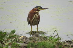 Green Heron, Butorides virescens (stonebird) Tags: greenheron butoridesvirescens ballonafreshwatermarsh august img1398 ballonafreshwaterdetentionbasin
