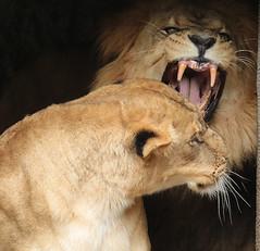 african lion Caesar and Kianga artis JN6A1700 (j.a.kok) Tags: leeuw lion africa afrika afrikaanseleeuw africanlion pantheraleoleo animal artis cat kat mammal zoogdier dier predator caesar kianga