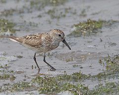 Western Sandpiper ( well worn adult ) (Keith Carlson) Tags: westernsandpiper