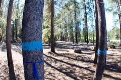 What's the story behind the BLUE PAINT? (daveynin) Tags: oregon newberry management blue paint bark tree