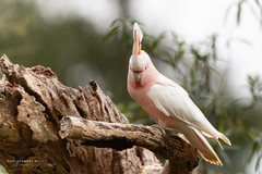 Major Mitchell Cockatoo (littledevilsminis) Tags: bird birds birdphotography cockatoo australianbird