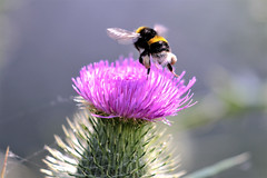 does my butt look big on this (Paul Wrights Reserved) Tags: bee bees inflight insect insects insectinflight beeinflight nature naturephotography pollen pollenation pollinating wildlifephotography wildlife flying flower flowers flowering thistle mothernature