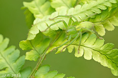 A (female) Green Huntsman spider-Micrommata virescens (Araneae) (Who needs a name?) Tags: micrommatavirescens greenhuntsmanspider araneae arachnid jj heathland fern heather greenery