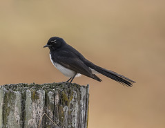 Willie on the fence post (archie0) Tags: williewagtail drought dof bird