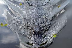 My Gator Friend (MegMcCoy) Tags: alligator alligators animals wildanimals wild gator gators swamp swamptour bayou louisiana neworleans lafitte airboat spanishmoss nature landscape trees green water