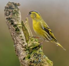 DSC6797  Siskin.. (jefflack Wildlife&Nature) Tags: siskin siskins finch finches forest birds avian animal animals wildlife wildbirds woodlands pineforest gardenbirds glades heathland hedgerows wildlifephotography jefflackphotography songbirds countryside copse nature