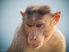D75_3606 (@sumitdhuper) Tags: wallshare beauty monkey wildlife expression nature