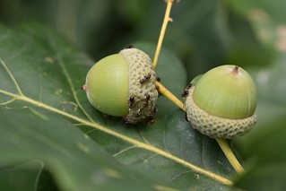 Ants attend a 'herd' of aphids on growing acorns