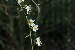 20180326-16a_Spring Flowers (Blackthorn I think)