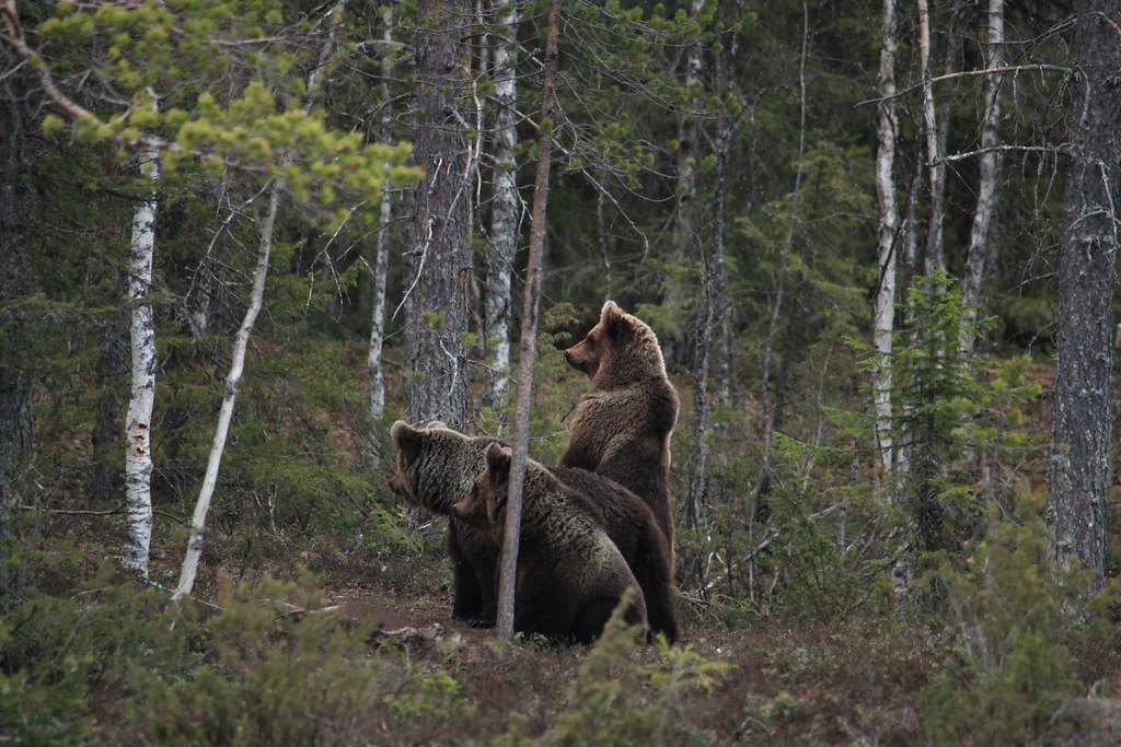 super erikoisuuksia myyntipiste myytävänä ennakkotilaus The World's Best Photos of brownbear and karhu - Flickr Hive ...