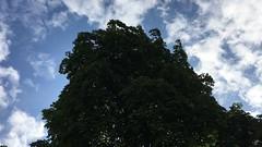 Horse Chestnut (Aesculus hippocastanum) - crown - August 2018 (Exeter Trees UK) Tags: horse chestnut aesculus hippocastanum crown august 2018