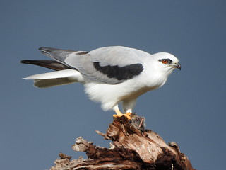 Black-shouldered Kite at Kolora