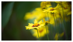Coreopsis grandiflora (leo.roos) Tags: yellow geel coreopsisgrandiflora largefloweredtickseed meisjesogen meyerkinonsuperiorf5cm meyerkinonsuperior5016 projectorlens projectionlens focusinghelicoidtrioplan10028 exakta darosa leoroos