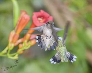 (more) little bird drama 8-6-18_119