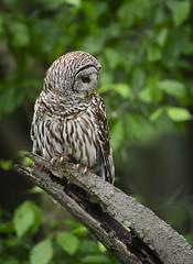 Focused... (DTT67) Tags: barredowl owl bird raptor forest nature wildlife birdofprey perched maryland canon 1dxmkii 500mmii 14xtciii