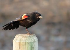 Red-winged Blackbird (Kelly Preheim) Tags: redwinged blackbird south dakota birds