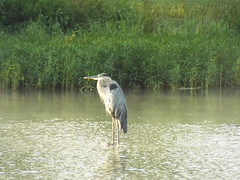 Watching & Waiting (EX22218 - ON/OFF) Tags: heron blue lake weeds nature louisville kentucky
