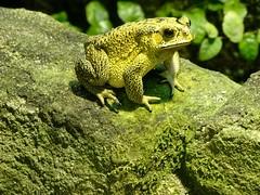 Asian common toad (Nemoleon) Tags: aalborgzoo june 2018 dsc01133 duttaphrynusmelanostictus asiancommontoad