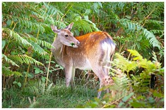 Sika Doe (www.andystuthridgenatureimages.co.uk) Tags: rspb arne deer sika doe female feeding eating leaves woodland