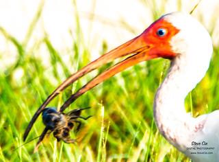 Ibis Eats Crayfish_DSC3975-2 copy