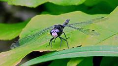 Dot-tailed Whiteface IMG_5540 (Jennz World) Tags: ©jennifermlivick caltonswamp aylmer ontario canada dragonfly damselfly
