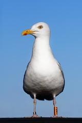 'Boss' (Jonathan Casey) Tags: gull sea herring suffolk uk bird nikon d810 135mm sigma art f18
