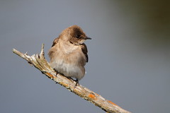 Northern Rough-Winged Swallow (Daniel Taieb) Tags: northern roughwinged swallow mckenziemarsh