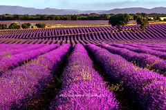ESENCIA (antoniojosehuertalopez) Tags: lavanda esencia perfume landscape color