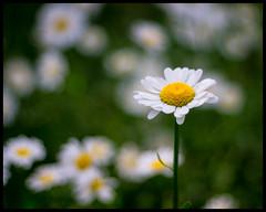 Sony prestekrage #2 (Krogen) Tags: norge norway norwegen akershus romerike ullensaker jessheim prestekrage blomster flowers krogen sonya6000 omzuiko50mm vivitarmacroteleconverter metabones speedbooster